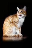 Der Kopf der leckenden Katze der Lippeningwer-getigerten Katze stockfotografie