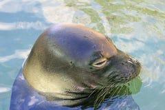 Der Kopf der Mönchs-Robbe Lizenzfreies Stockfoto
