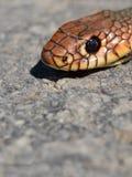 Der Kopf der Schlange Lizenzfreie Stockbilder