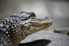 Der Kopf des Alligators Lizenzfreie Stockfotos