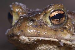 Der Kopf des Frosches lizenzfreie stockfotografie
