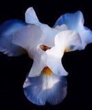 Der Kopf des Irisblumenabschlusses oben Lizenzfreies Stockbild