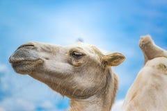 Der Kopf des Kamelabschlusses oben gegen blauen Himmel Lizenzfreie Stockfotos