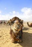 Der Kopf des Kamels in der Wüste mit lustigem Ausdruck Lizenzfreie Stockfotografie