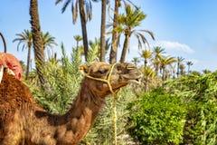 Der Kopf des Kamels in einem Palmeraie nahe Marrakesch, Marokko Die Sahara-Wüste wird in Afrika aufgestellt Dromedars bleiben im  stockbilder
