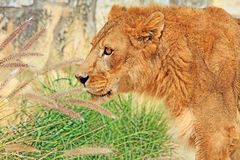 Der Kopf des Löwes im Profil Lizenzfreies Stockfoto