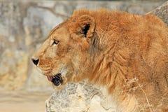 Der Kopf des Löwes in Profil 2 lizenzfreies stockbild