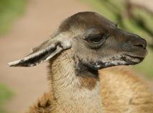 Der Kopf des Lamas Stockfotografie