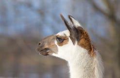 Der Kopf des Lamas Lizenzfreie Stockfotos
