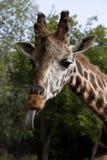 Der Kopf einer Giraffe stockbild