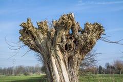 Der Kopf einer Korbweide, Salix viminalis im Winter Die Pollardweiden werden alle zwei bis drei Jahre im Herbst geschnitten Stockfotos