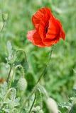 Der Kopf einer roten Mohnblume auf einem Feld Stockbilder