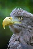 Der Kopf eines Adlers Lizenzfreie Stockbilder