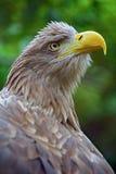 Der Kopf eines Adlers Lizenzfreies Stockfoto
