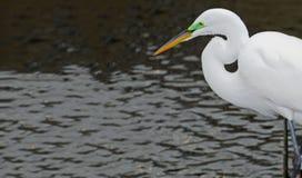 Der Kopf eines großen weißen Reihers, der in einem Fluss während der Decksaison jagt stockfotografie