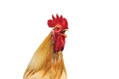 Der Kopf eines Hahns mit einem roten Kamm singt auf einem weißen Hintergrund Lizenzfreie Stockfotos