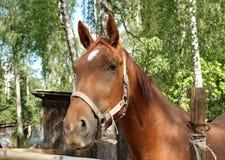 Der Kopf eines roten Pferds hinter einem Bretterzaun Stockfotos