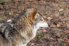 Der Kopf eines Wolfs von der Seite Stockfotos
