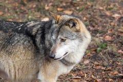Der Kopf eines Wolfs von der Seite Stockfotografie