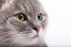 Der Kopf der grauen Katze mit den grünen Augen, die oben schauen Lizenzfreie Stockbilder