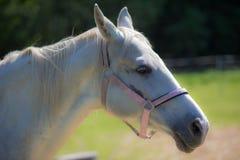 Der Kopf weißen Hanoverian-Pferds im Zaum oder des Snaffle a mit dem grünen Hintergrund von Bäumen ein Gras am sonnigen Sommertag stockbild