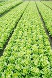 Der Kopfsalat angebaut in den Gemüseplänen, Lizenzfreie Stockbilder