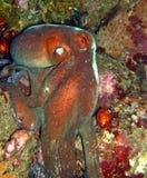Der Krake Octopoda ist eine weich-bodied Molluske Krake ist mit zwei Augen und einem Schnabel bilateral symmetrisch lizenzfreie stockfotos