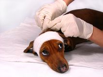 Der kranke Hund hat Angst lizenzfreie stockfotos