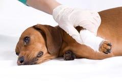 Der kranke Hund im Verband stockbild