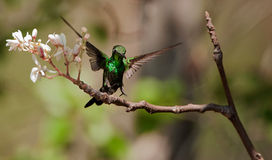 Der kubanische Smaragd (Chlorostilbon ricordii) lizenzfreies stockfoto