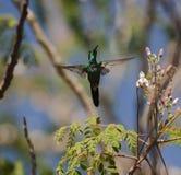 Der kubanische Smaragd im Flug stockbild