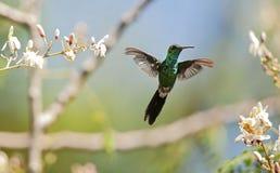 Der kubanische Smaragd im Flug stockfotos