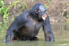 Der lächelnde Bonobo, der im Wasser steht, sucht nach der Frucht, die in Wasser fiel Lizenzfreie Stockbilder