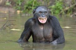 Der lächelnde Bonobo, der im Wasser steht, sucht nach der Frucht, die in Wasser fiel Stockfotos