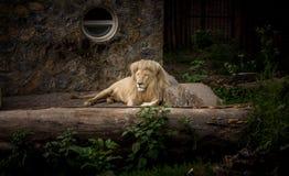 Der Löwe, der sich am Beton hinlegt Lizenzfreie Stockbilder