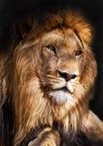 Der Löwe-König Stockbilder