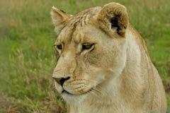 Der Löwin Abschluss oben Lizenzfreie Stockfotos