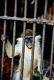 Der lachende Affe Stockfotos