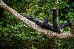 Der lachende Bonobo (Pan Paniscus) auf einem Baumast Stockbild