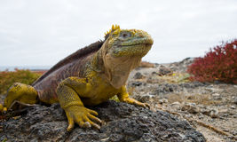 Der Landleguan, der auf den Felsen sitzt Die Galapagos-Inseln Der Pazifische Ozean ecuador Lizenzfreie Stockfotografie