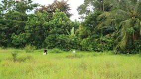 Der Landwirt, der auf dem organischen Ackerland des ungesch?lten Reises pflanzt lizenzfreie stockfotos