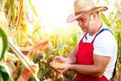 Der Landwirt, der die Qualität des Mais überprüft, erntet stockfotografie