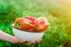 Der Landwirt erntet den Pfeffer auf dem Gebiet Frisches gesundes organisches Gemüse landwirtschaft stockfoto