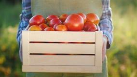 Der Landwirt hält eine Holzkiste mit Tomaten Neue landwirtschaftliche Produkte stockfotografie