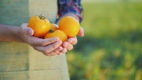 Der Landwirt hält einige gelbe Tomaten stockfotografie