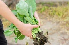 Der Landwirt hält Kohlsämlinge bereit zum Pflanzen auf dem Gebiet Landwirtschaft, Landwirtschaft, Gemüse, Agro-Industrie stockbild