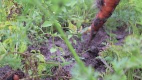 Der Landwirt zieht von der Erde eine Ernte von den Karotten aus Organische Karotten für eine gesunde Diät, das Konzept der Landwi stock video