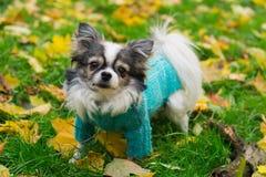 Der langhaarige Chihuahuahund, der den blauen Pullover an sitzt trägt, geen gra Stockbild