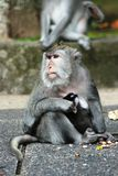 Der langschwänzige Makaken (Macaca fascicularis) Lizenzfreies Stockfoto