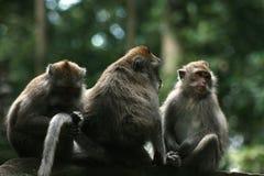 Der langschwänzige Makaken (Macaca fascicularis) Lizenzfreie Stockfotografie